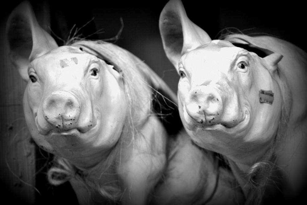 Zwei unechte Schweine