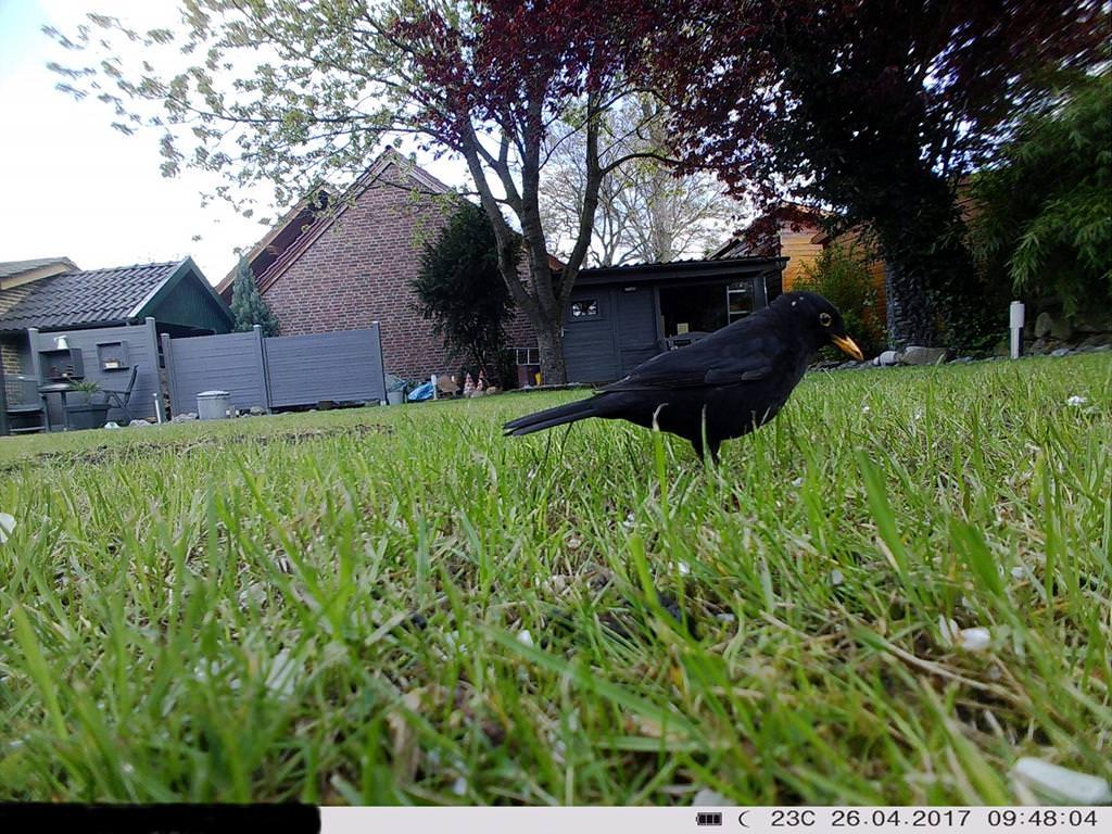 Vogelfotografie: Amsel