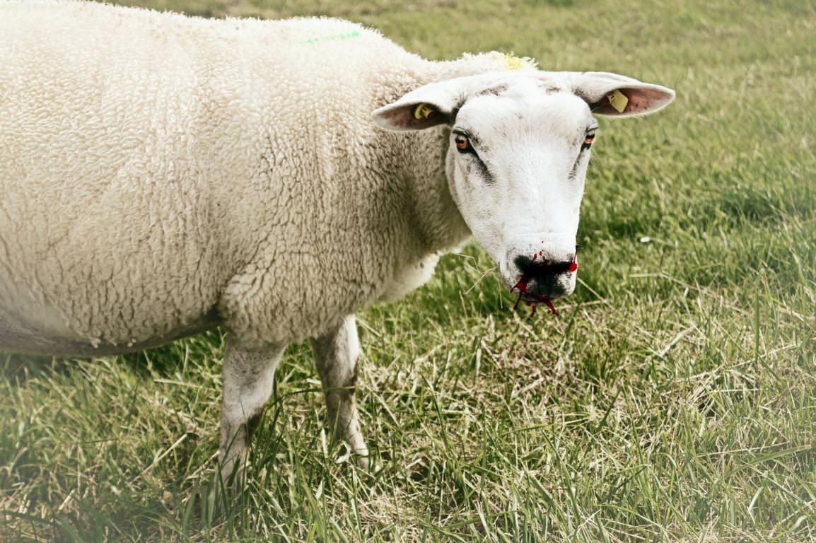 Bissiges Schaf