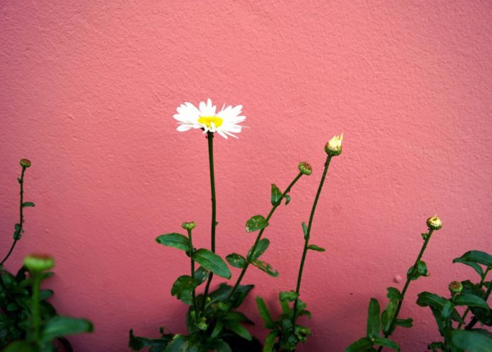 Blume. Gänseblümchen