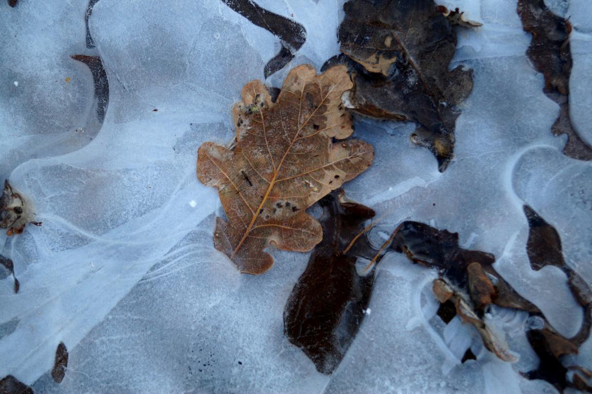 Blätter: Eingefroerene Blätter