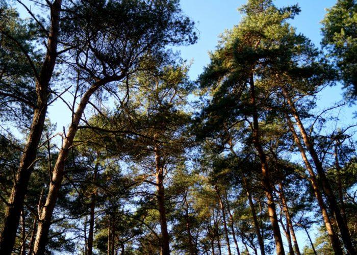 Wald: Baumkronen