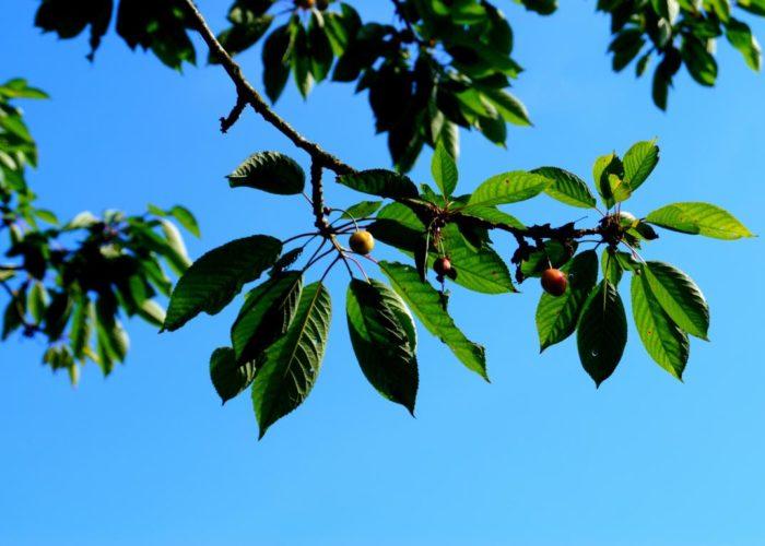 Grüne Bilder: Kirschbaum