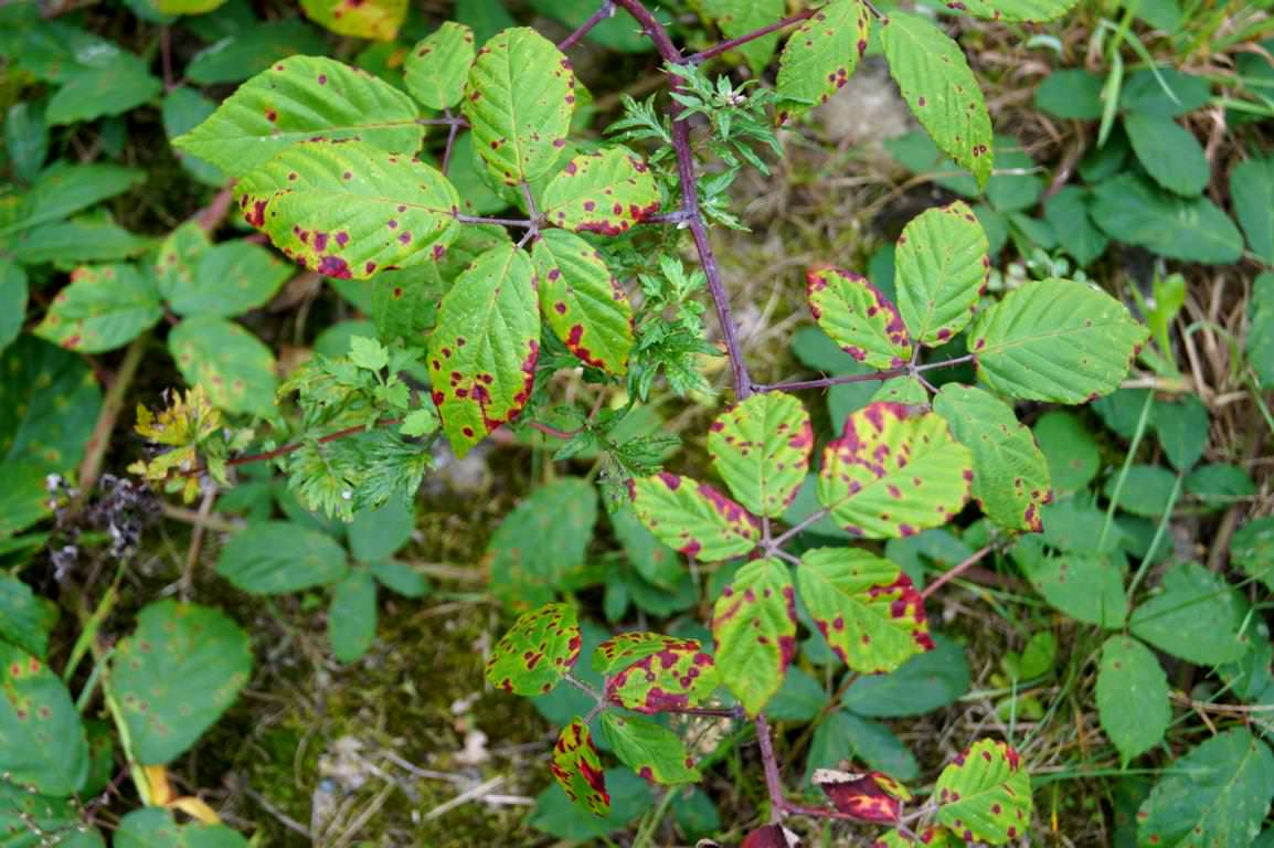 Blätter: Farbwechsel