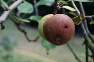Schiller und faule Äpfel