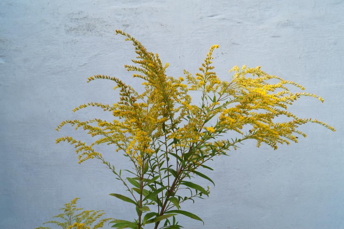 Blume: Kanadische Goldrute
