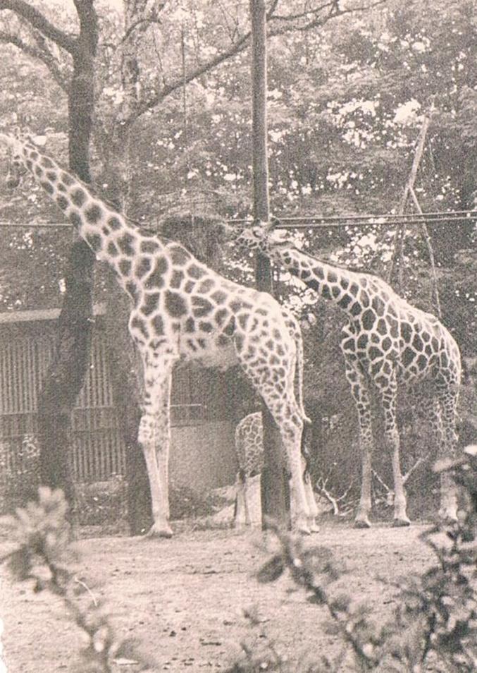 Alte Tierfotos: Giraffen