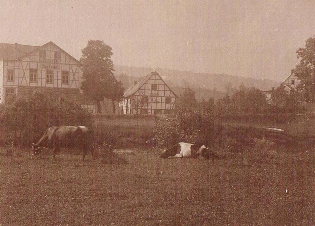 Alte Tierfotos: Kühe
