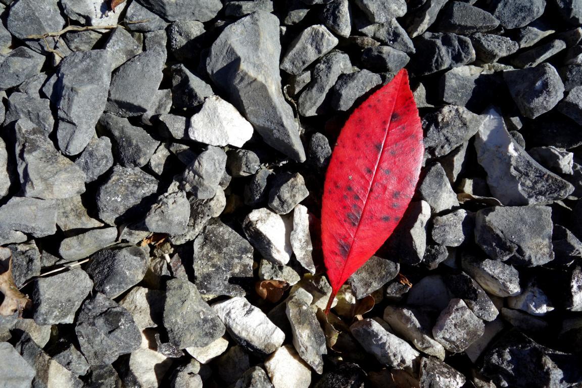 Blätter. Rotes Blatt