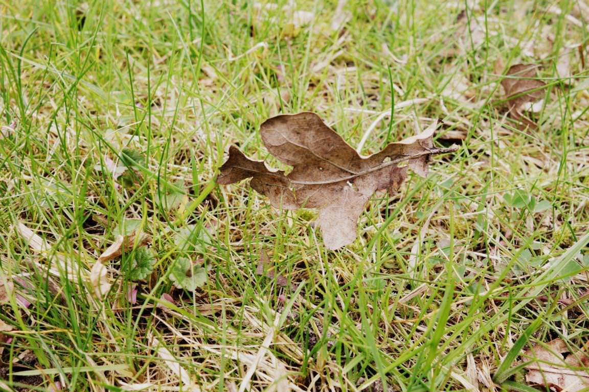 Blätter_ Welkes Blatt