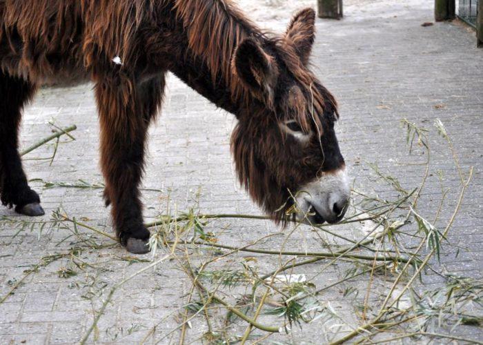 Tiere: Poitou Esel