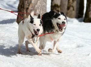 Hundeäquator: Schlittenhunde